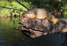棕色fario斑鳟属鳟鱼trutta 库存照片