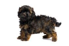 棕色havanese小的小狗 免版税库存照片