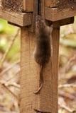 棕色norvegicus汇率鼠属 图库摄影