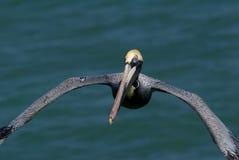 棕色occidentalis鹈鹕pelicanus 库存照片