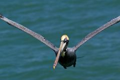 棕色occidentalis鹈鹕pelicanus 免版税库存照片
