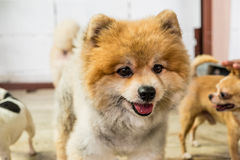 棕色Pomeranian的面孔 图库摄影