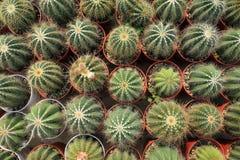 棘手的微型仙人掌植物的显示汇集小棕色罐的在植物的温室g里面的最小的样式设计 库存照片