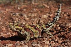 棘手的恶魔,在内地澳大利亚 免版税库存图片