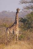 棘手预警bushveld的长颈鹿 免版税图库摄影