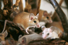 棘手acomys非洲cahirus沙漠的鼠标 免版税库存图片