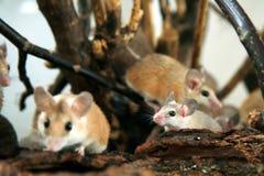棘手acomys非洲cahirus沙漠的鼠标 库存照片
