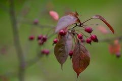 棠棣属和红色叶子 库存图片