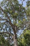 森木树巴巴多斯印度西部 库存图片