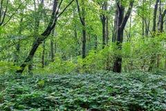 森林下木植被 放牧在森林沼地的生长在草本层数understory或草丛 选择聚焦 免版税库存图片