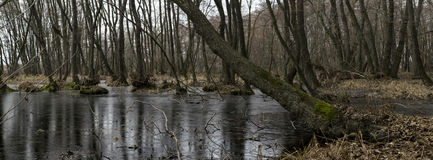 森林丛林 寡妇森林,桤木红色 图库摄影