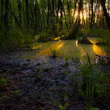 森林丛林 寡妇森林,桤木红色 免版税库存图片