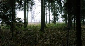森林云杉 库存照片