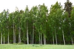 森林俄罗斯 库存图片
