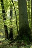 森林充分轻老 图库摄影