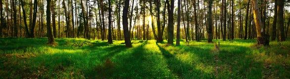 森林全景日落的 免版税库存照片