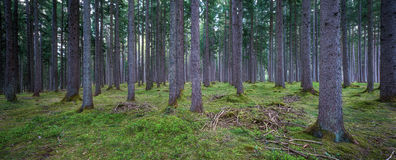 森林全景 图库摄影