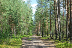 森林公路在一个杉木森林里在一个夏日在蓝天下 免版税图库摄影