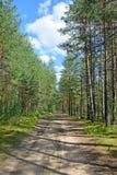 森林公路在一个杉木森林里在一个夏日在蓝天下 免版税库存图片