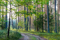 森林公路,早晨光 库存照片