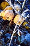 森林冬天苹果霜 免版税库存图片