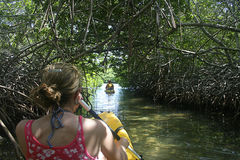 森林划皮船的美洲红树 免版税库存图片