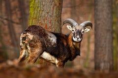 森林动物在栖所 Mouflon,羊属orientalis,森林有角的动物在自然栖所,哺乳动物画象与大的ho 库存图片