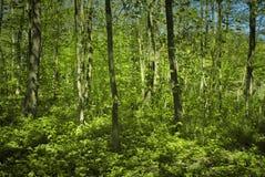 森林和年轻树 图库摄影