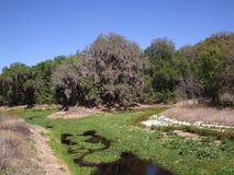 森林和沼泽在北部佛罗里达 图库摄影