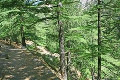 森林喜马拉雅杉木闻的线索 库存图片