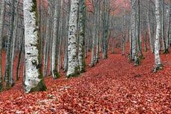 森林在与红色的秋天在地面离开 免版税库存照片