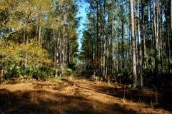 森林在佛罗里达 免版税库存照片