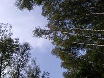 森林在俄罗斯 库存照片