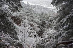 森林在冬天 图库摄影