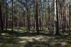 森林在勃兰登堡,德国在夏天 库存照片