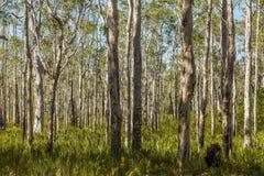 森林在南澳大利亚 库存图片