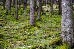 森林在早期的春天,在雪以后 库存照片