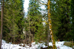 森林在早期的春天,在雪以后 免版税库存图片