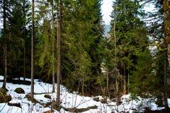 森林在早期的春天,在雪以后 库存图片