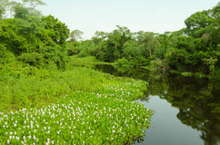 森林在潘塔纳尔湿地 库存图片