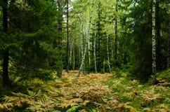 森林在瑞典 免版税图库摄影