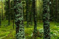 森林在瑞典 免版税库存照片