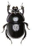 森林在白色背景的甲虫 图库摄影