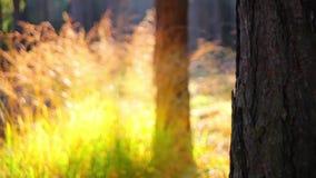 森林在秋天 股票视频