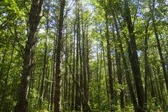 森林在缅因 免版税图库摄影