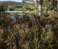 森林在苏格兰 图库摄影