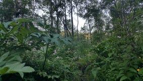 森林在西伯利亚 图库摄影