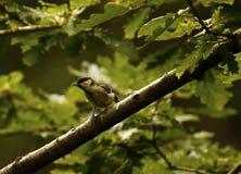 森林地伟大的山雀 免版税库存照片