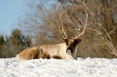 森林地北美驯鹿 库存照片