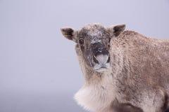 森林地北美驯鹿 免版税库存照片